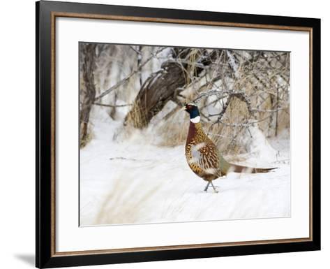 Rooster Ring-Necked Pheasant (Phasianus Colchicus), Montana, USA-Neal Mischler-Framed Art Print