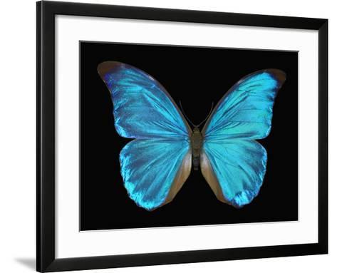 Male Adult Blue Morpho Butterfly (Morpho Amathonte)-Jeffrey Miller-Framed Art Print