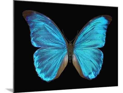 Male Adult Blue Morpho Butterfly (Morpho Amathonte)-Jeffrey Miller-Mounted Photographic Print