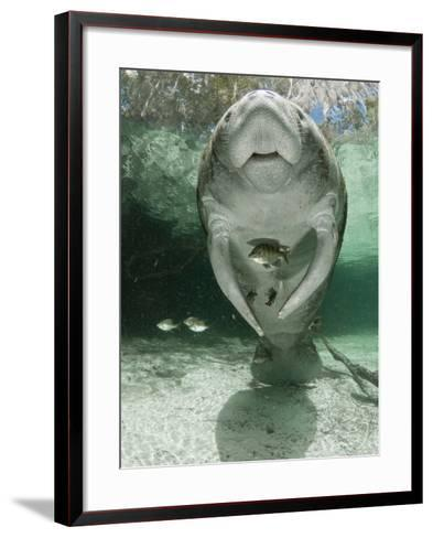 West Indian Manatee (Trichechus Manatus), Crystal River, Florida, USA-Marty Snyderman-Framed Art Print