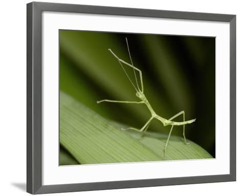 Nymph Walking Stick (Phasmatodea Phasmida) on a Blade of Grass-Mark Plonsky-Framed Art Print