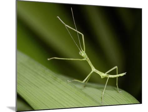 Nymph Walking Stick (Phasmatodea Phasmida) on a Blade of Grass-Mark Plonsky-Mounted Photographic Print