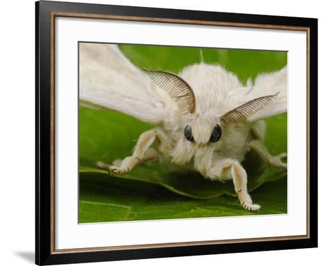 Silk Moth Adult Male (Bombyx Mori)-Fabio Pupin-Framed Art Print