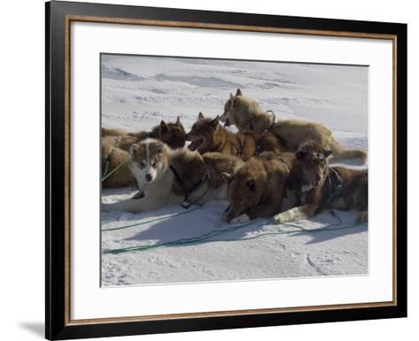 Husky Dog Team Resting, Qaanaaq Greenland-Louise Murray-Framed Art Print