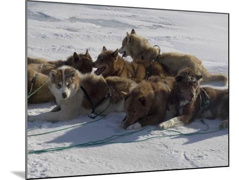 Husky Dog Team Resting, Qaanaaq Greenland-Louise Murray-Mounted Photographic Print