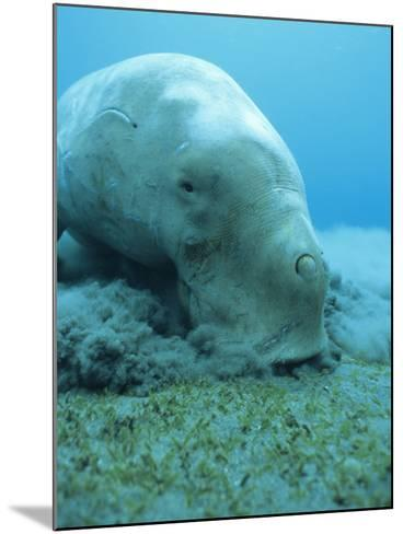 Dugong (Dugong Dugon) Feeding on Sea Grass-Louise Murray-Mounted Photographic Print
