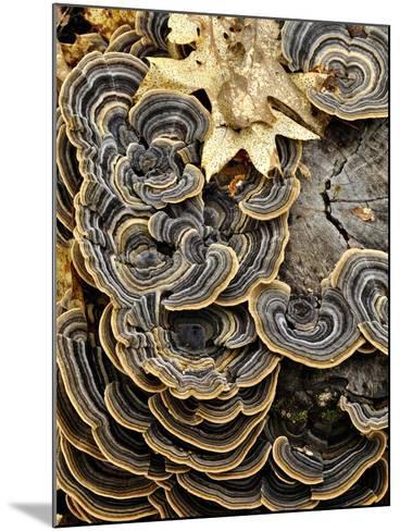Turkey Tails (Trametes Versicolor) Growing on a Stump, Southwest Oregon, USA-Robert & Jean Pollock-Mounted Photographic Print