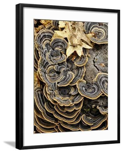 Turkey Tails (Trametes Versicolor) Growing on a Stump, Southwest Oregon, USA-Robert & Jean Pollock-Framed Art Print