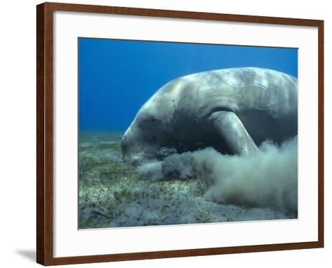 Dugong (Dugong Dugon) Feeding on Sea Grass-Louise Murray-Framed Art Print