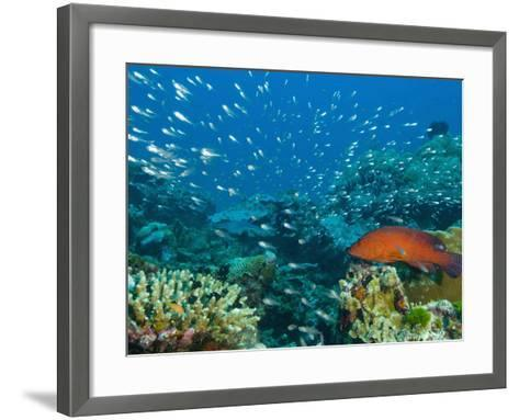 Coral Hind or Peacock Grouper (Cephalopholis Miniata) Hunting Small Fish over a Coral Reef-Louise Murray-Framed Art Print