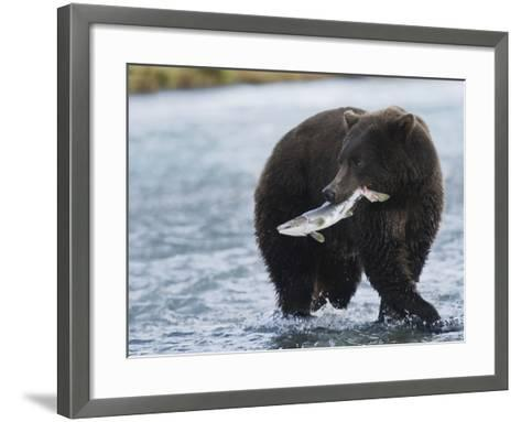 Brown Bear (Ursus Arctos) with Salmon (Salmonidae), Geographic Harbor, Katmai National Park-Arthur Morris-Framed Art Print
