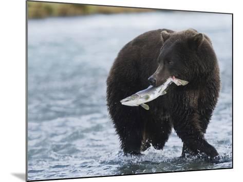 Brown Bear (Ursus Arctos) with Salmon (Salmonidae), Geographic Harbor, Katmai National Park-Arthur Morris-Mounted Photographic Print