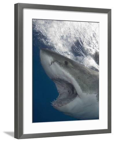 Great White Shark Head (Carcharodon Carcharias), Guadalupe Island, Mexico, Eastern Pacific Ocean-Andy Murch-Framed Art Print