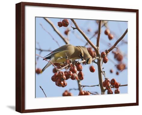 Cedar Waxwing (Bombycilla Cedrorum)-Robert Servranckx-Framed Art Print