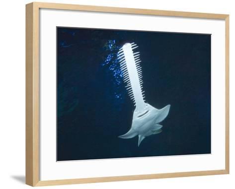 Green Sawfish (Pristis Zijsron)-Andy Murch-Framed Art Print