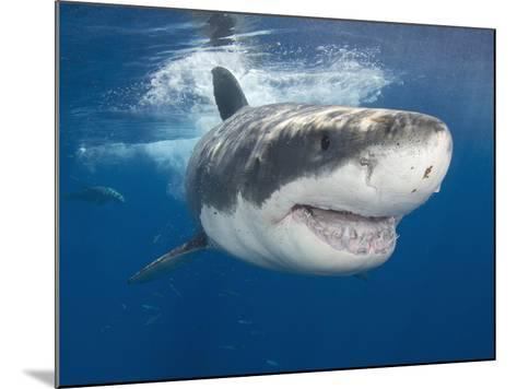 Great White Shark (Carcharodon Carcharias), Guadalupe Island, Mexico, Eastern Pacific Ocean-Andy Murch-Mounted Photographic Print