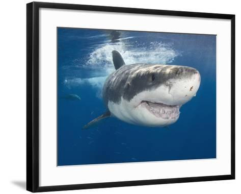 Great White Shark (Carcharodon Carcharias), Guadalupe Island, Mexico, Eastern Pacific Ocean-Andy Murch-Framed Art Print