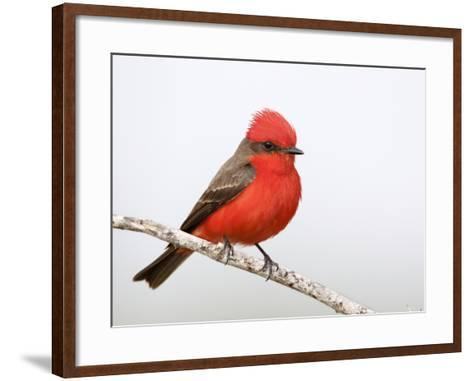 Vermilion Flycatcher Male (Pyrocephalus Rubinus), Laredo, Texas, USA-Arthur Morris-Framed Art Print