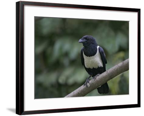 Indian Pied Crow, Corvus Albus, Kenya, Africa-Arthur Morris-Framed Art Print
