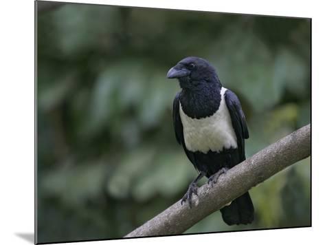 Indian Pied Crow, Corvus Albus, Kenya, Africa-Arthur Morris-Mounted Photographic Print