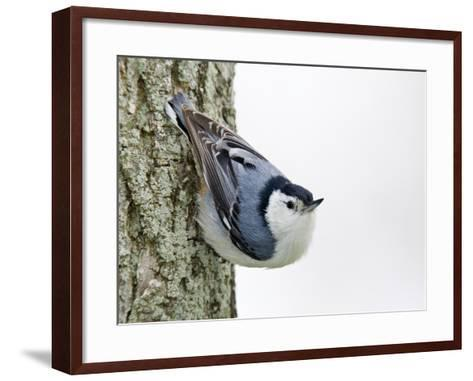 White-Breasted Nuthatch (Sitta Carolinensis), Ontario, Canada-Arthur Morris-Framed Art Print