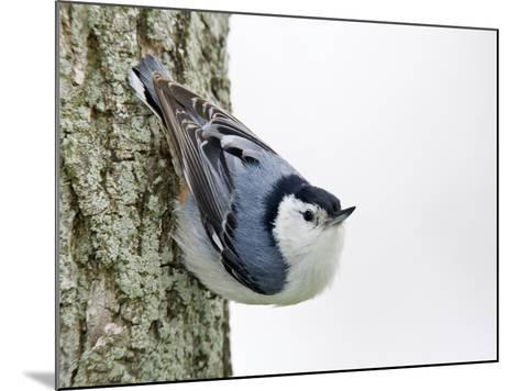 White-Breasted Nuthatch (Sitta Carolinensis), Ontario, Canada-Arthur Morris-Mounted Photographic Print
