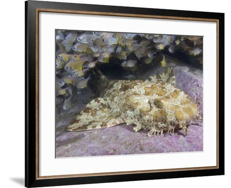 Banded Wobbegong Shark (Orectolobus Halei), Fish Rock, South West Rocks, New South Wales-Andy Murch-Framed Art Print