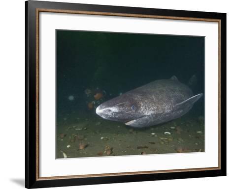 Greenland Shark (Somniosus Microcephalus), Baie Comeau, Saint Lawrence Estuary, Quebec-Andy Murch-Framed Art Print