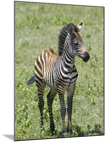 Young Burchell's or Common Zebra, Equus Burchellii, on the Savanna of East Africa-Arthur Morris-Mounted Photographic Print
