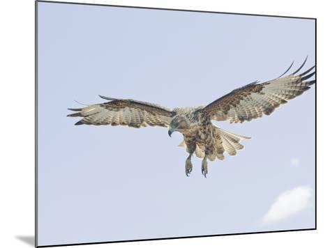 Galapagos Hawk (Buteo Galapagoensis) in Flight, Urbina, Isabella, Galapagos-Arthur Morris-Mounted Photographic Print