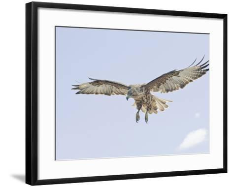 Galapagos Hawk (Buteo Galapagoensis) in Flight, Urbina, Isabella, Galapagos-Arthur Morris-Framed Art Print