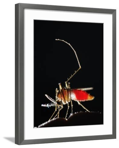 Mosquitos are Usually Active During the First Night Hours, Seen Here Feeding on Human Blood-Fabio Pupin-Framed Art Print