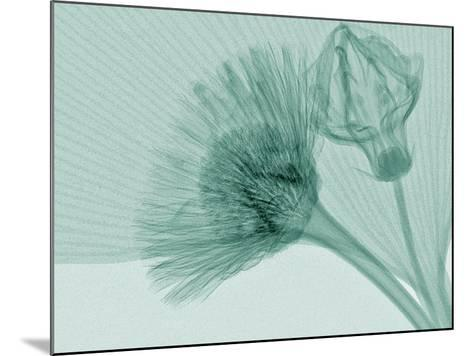 X-Ray of Ginkgo Leaf and Chives Flowers-George Taylor-Mounted Photographic Print