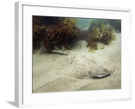 California or Pacific Angel Shark (Squatina Californica), Ventura, California, USA, Pacific Ocean-Andy Murch-Framed Art Print