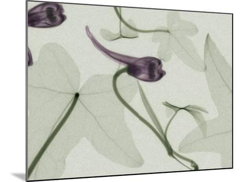 X-Ray Ivy Leaves and Flowers-George Taylor-Mounted Photographic Print