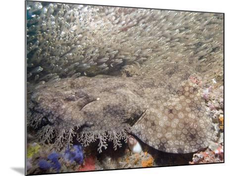 Tasseled Wobbegong (Eucrossorhinus Dasypogon) in a School of Baitfish, Exmouth-Andy Murch-Mounted Photographic Print
