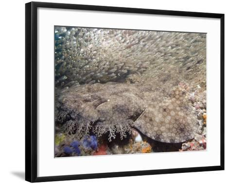 Tasseled Wobbegong (Eucrossorhinus Dasypogon) in a School of Baitfish, Exmouth-Andy Murch-Framed Art Print