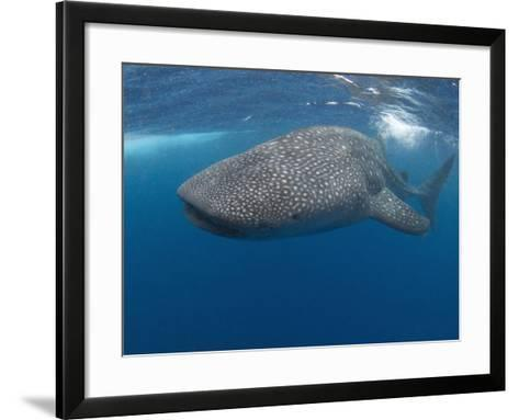 Whale Shark (Rhincodon Typus), Gulf of Mexico, Louisiana, USA-Andy Murch-Framed Art Print