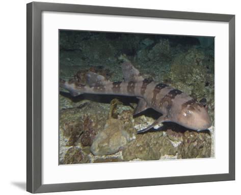 Whitespotted Bamboo Shark (Chiloscyllium Plagiosum), Indo-Pacific Region-Andy Murch-Framed Art Print