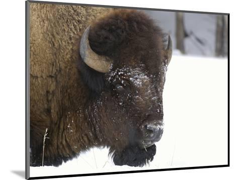 Bison Head (Bison Bison) in Snow, Yellowstone National Park, USA-Dave Watts-Mounted Photographic Print