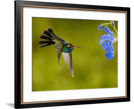 Broad-Billed Hummingbird (Cynanthus Latirostris) Male Feeding on a Blue Tubular Flowers, Arizona-Dave Watts-Framed Art Print