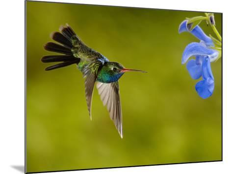 Broad-Billed Hummingbird (Cynanthus Latirostris) Male Feeding on a Blue Tubular Flowers, Arizona-Dave Watts-Mounted Photographic Print