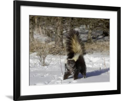 Striped Skunk (Mephitis Mephitis) in Snow with Tail Raised Ready to Spray, USA-Dave Watts-Framed Art Print