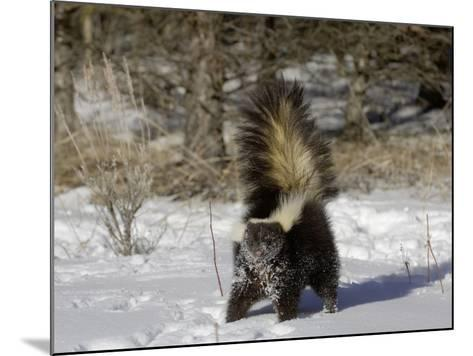 Striped Skunk (Mephitis Mephitis) in Snow with Tail Raised Ready to Spray, USA-Dave Watts-Mounted Photographic Print