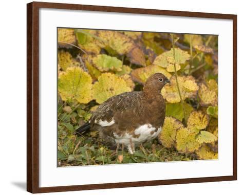 Willow Ptarmigan Changing to its Winter White Plumage (Lagopus Lagopus), Alaska, USA-Tom Walker-Framed Art Print