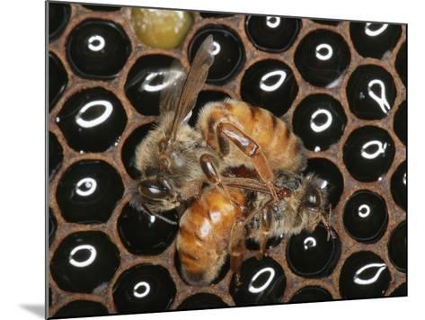 Queens Honey Bees Fighting-Eric Tourneret-Mounted Photographic Print