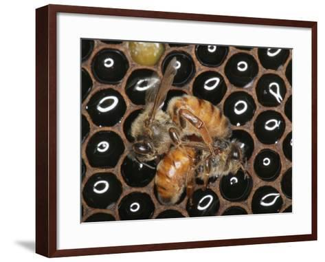 Queens Honey Bees Fighting-Eric Tourneret-Framed Art Print
