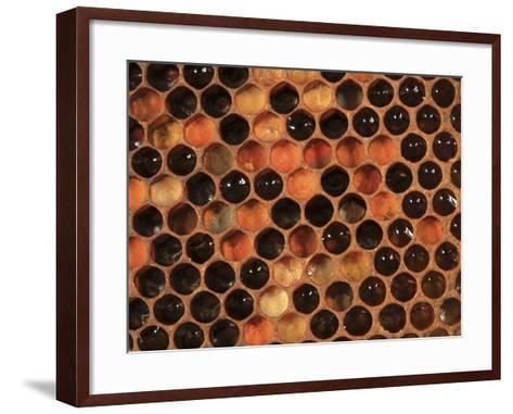Honey Bee Hive Frame with Cells Filled with Honey and Pollen-Eric Tourneret-Framed Art Print