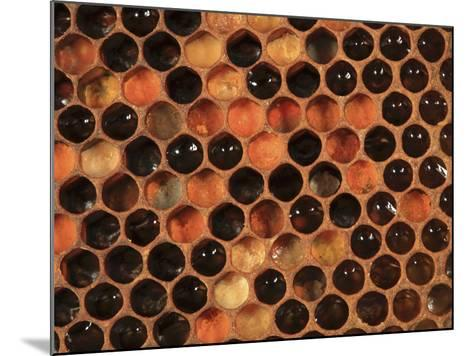 Honey Bee Hive Frame with Cells Filled with Honey and Pollen-Eric Tourneret-Mounted Photographic Print