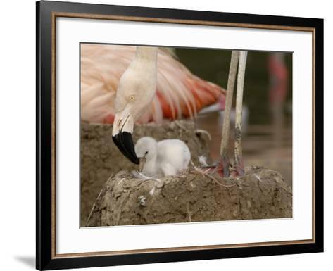 Chilean Flamingo (Phoenicopterus Chilensis) Adult with Small Chick in the Nest, Captive-Dave Watts-Framed Art Print
